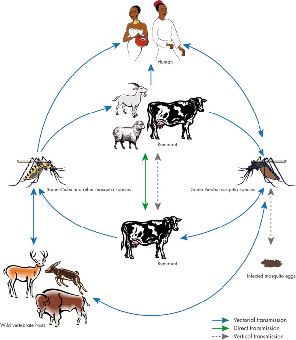 Towards a better understanding of Rift Valley fever epidemiology in the south-west of the Indian Ocean - Scientific Figure on ResearchGate. Available from: https://www.researchgate.net/figure/Cycle-of-Rift-Valley-fever-The-virus-can-be-maintained-in-an-enzootic-cycle-involving_fig2_256478007 [accessed 19 Mar, 2019]